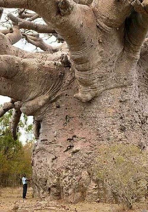 big-baobab